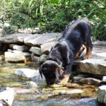 Rotweiler puppy drinking out of small pond