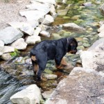 Rotweiler puppy walking in pond