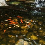 Pond water with orange and white fish swimming